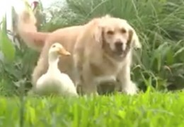 amitie_chien_golden_retriever_canard_blanc