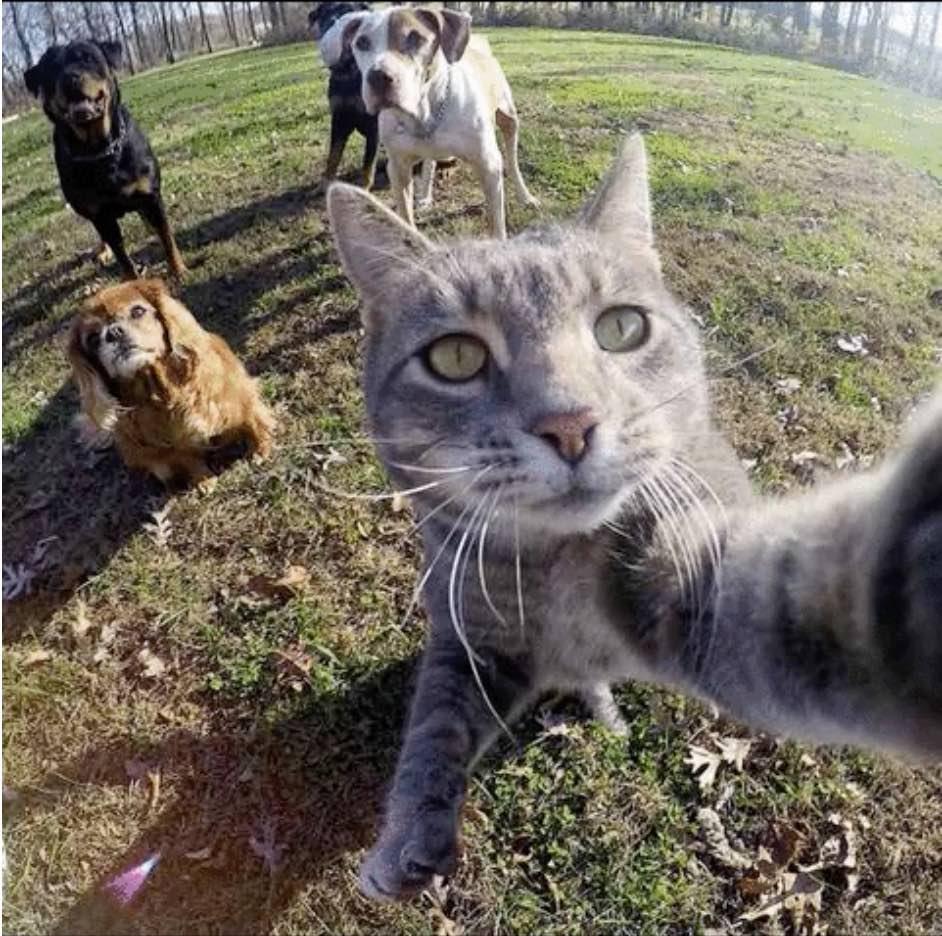 chat_gris_roi_du_selfie_1