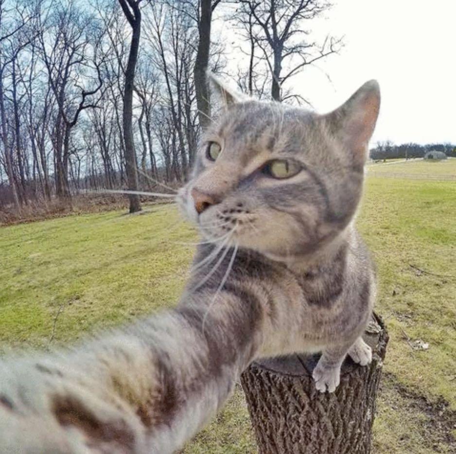 chat_gris_roi_du_selfie_2