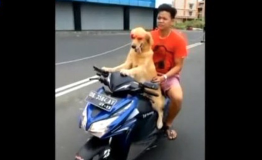 chien_conduit_scooter_indonesie