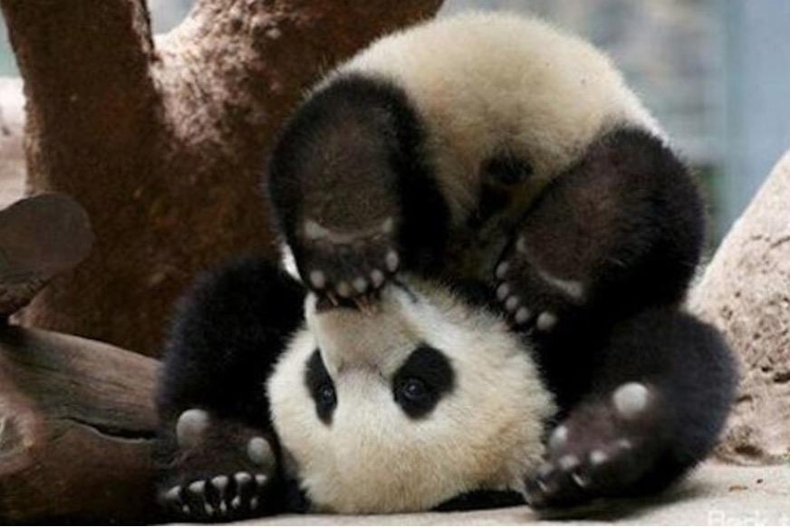 un b b panda tr s attachant avec son soigneur i animaux. Black Bedroom Furniture Sets. Home Design Ideas