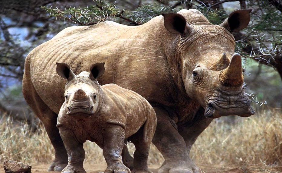 photo_rhinoceros_maman_bebe