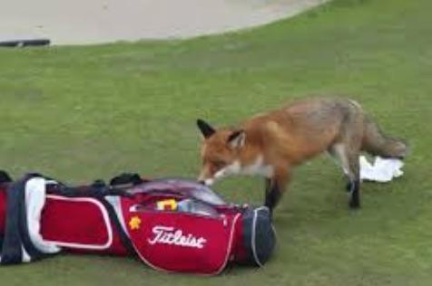 renard_vole_portefeuille_golfeur