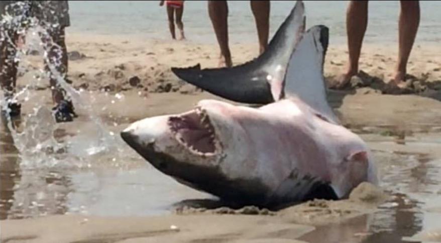 Un requin chou sauv in extremis alors qu 39 il agonisait sur la plage i animaux - Requin rigolo ...