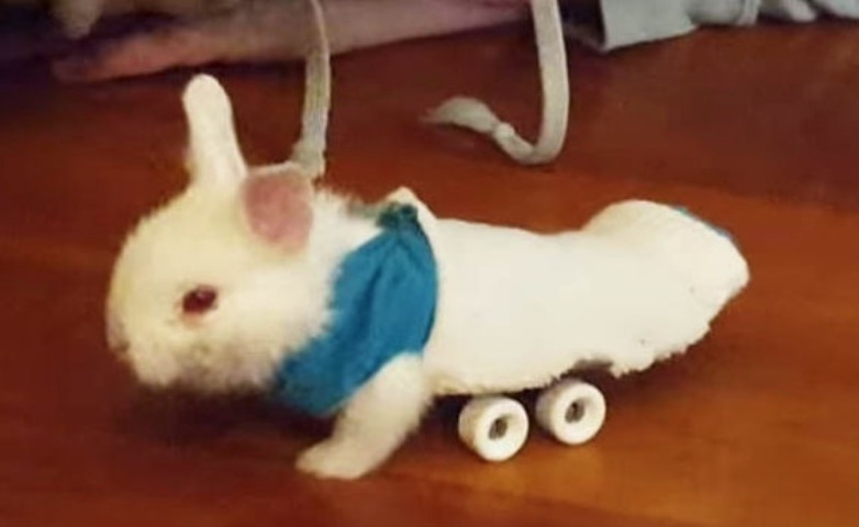 wheelz_lapineau_lapin_paralyse_roller_roulette