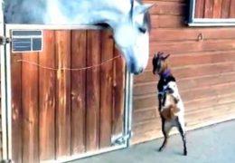cheval-chevre-amitie-insolite-jeux
