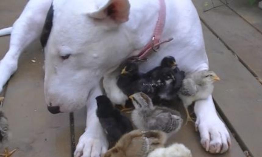 chien-poule-amour-poussins-insolite-animaux