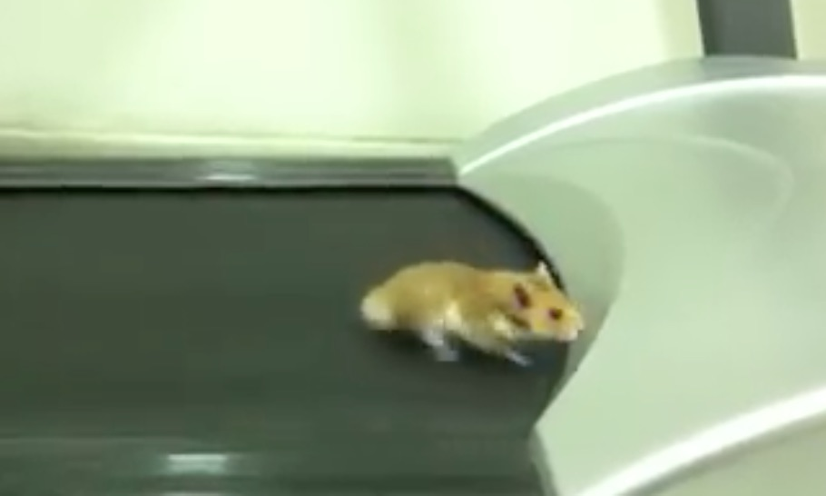 hamster-course-tapis-roulant-insolite-animaux