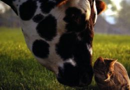 insolite-animaux-calins-vache-chat-affectif