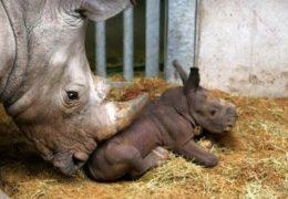 naissance-bebe-rhinoceros-zoo