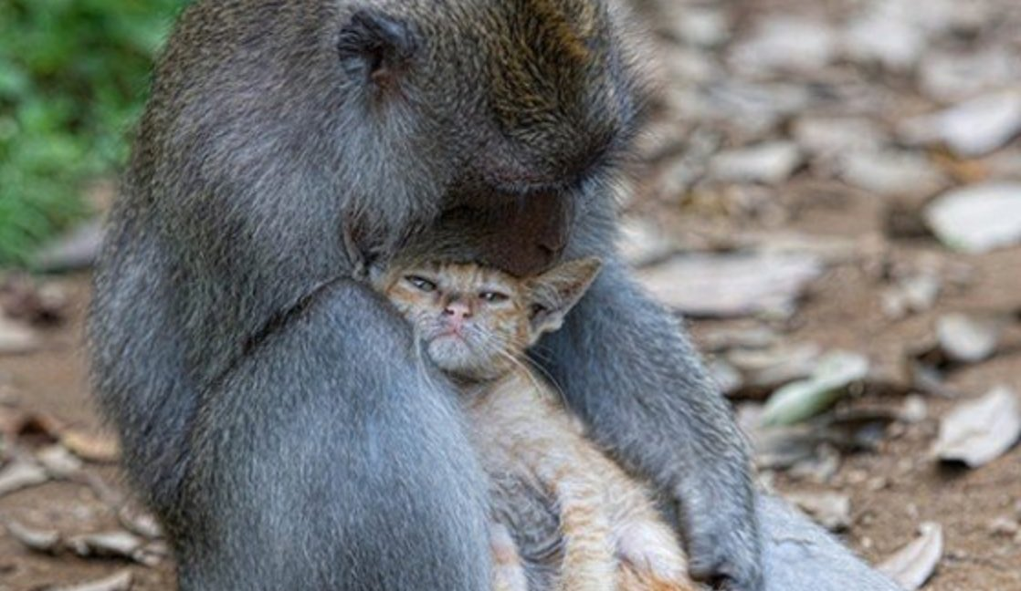 singe-amour-affection-chat-insolite-mignon