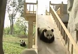 pandas-photo-mignon-toboggan