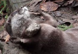 loutre-jongle-jonglage-caillou-pierre-video